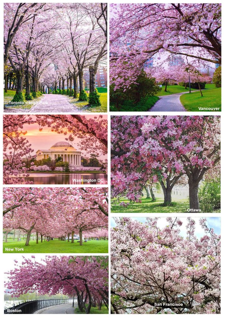 Amazing Facts About Cherry Blossom You Might Not Know Skykreation